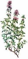 tymián vysoko antibakteriálna rastlina